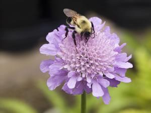 Biene auf der Scabiosa