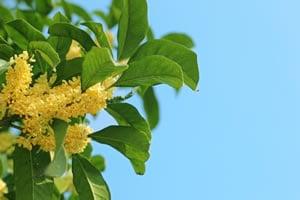 Duftblüte Pflanze