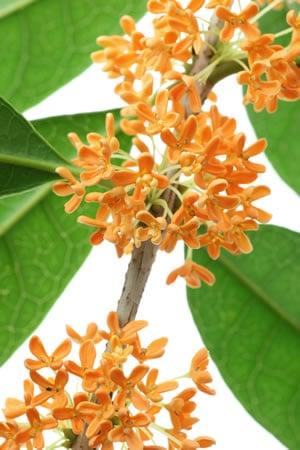 Blüten der Duftblüte