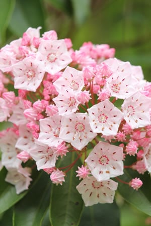 Kalmia latifolia Blüten