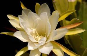 Königin der Nacht Blüte
