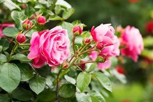 Rosen im Rosengarten