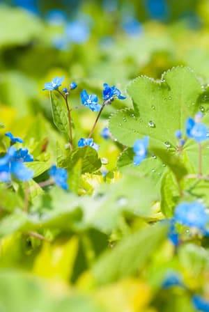 Frühlings-Gedenkemein im Beet