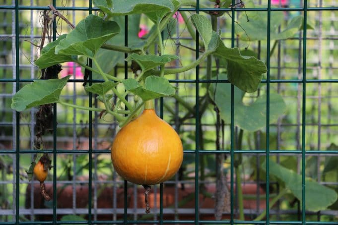 Lieblings Kürbis - Anbau, Pflanzen, Pflege und beliebte Kürbissorten #UJ_75