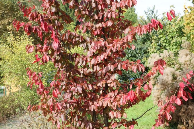 Persischer Eisenholzbaum