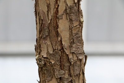 Peruanischer Pfefferbaum