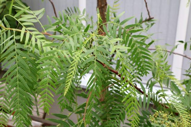 Peruanischer Pfefferbaum, Schinus molle