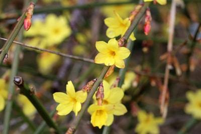 Winterjasmin winterharte Kletterpflanzen