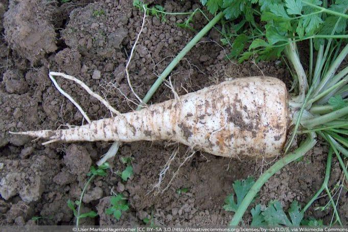 Beliebt Bevorzugt Wurzelpetersilie - Aussaat, Anbau und Pflege - Gartendialog.de @KL_06