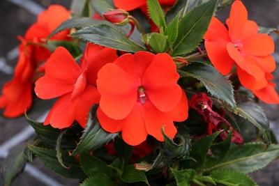 Begonia Balkonpflanze