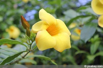 Goldtrompete Schlingpflanzen