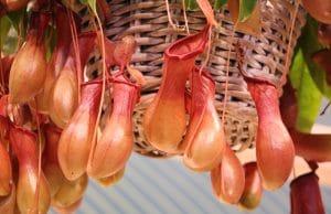 Hängepflanze