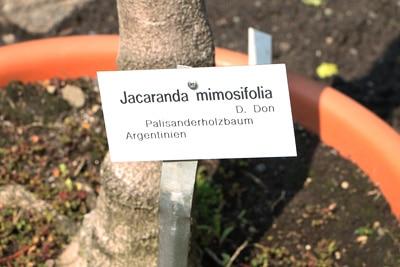 Palisanderbaum Palisander