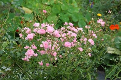 Rosen Buschrose