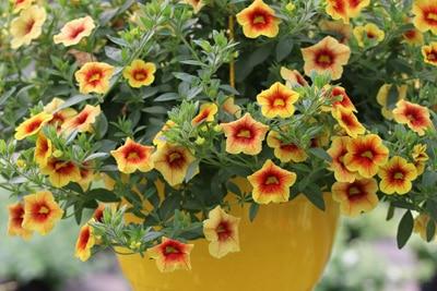 Hängepflanzen Und Ampelpflanzen Für Zimmer Und Balkon Gartendialogde