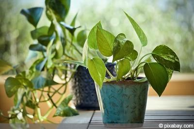 Epipremnum aureum Zimmerpflanze