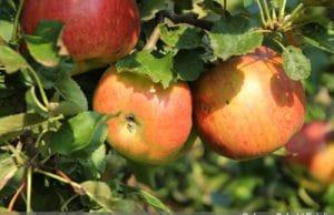 Braeburn-Apfel