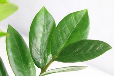 Zamioculcas Zamiifolia Glücksfeder Zamie