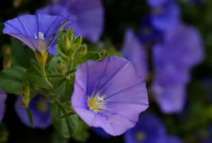 Blaue Mauritius Pflanze