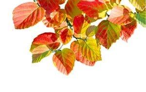 Blätter des Federbuschstrauchs