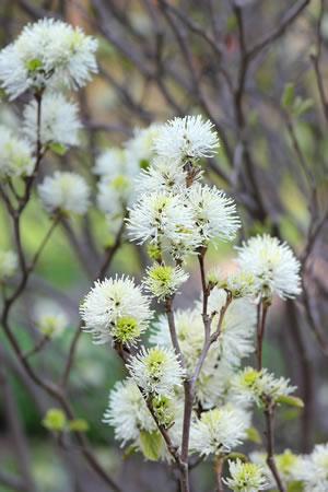 Blüten des Federbuschstrauchs
