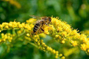 Biene auf der Goldrute