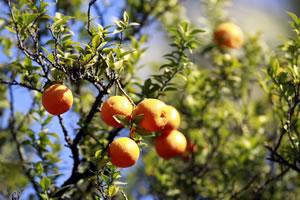 Pomeranzen-Baum