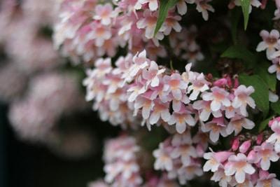 Perlmutterstrauch blühende Heckenpflanzen