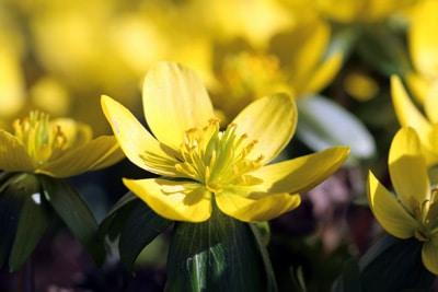 Eranthis hyemalis, Blumen vertragen Frost