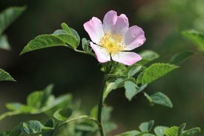 Hundsrose Rosa canina robuste Pflanzen