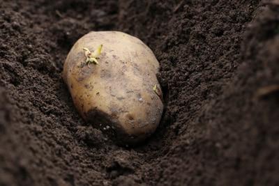 Kartoffel Gemüsesorten