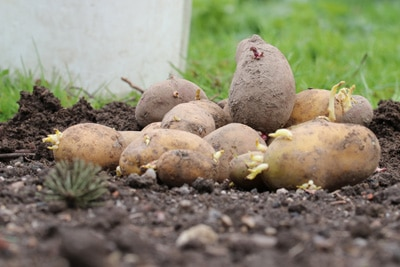 Kartoffeln ernten kartoffelernte wann sind sie reif for Wann kartoffeln pflanzen
