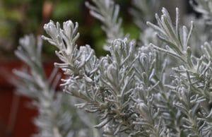 Currykraut Helichrysum italicum