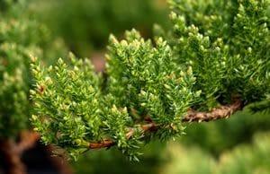 Zwerg-Wacholder Pflanze