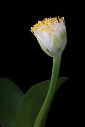 Blüte des Elefantenohrs