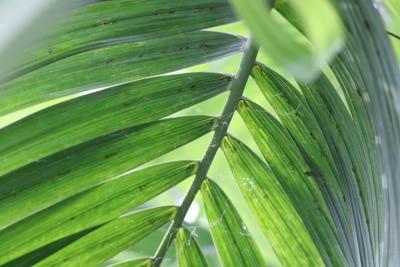 Areca-Palme, Dypsis lutescens
