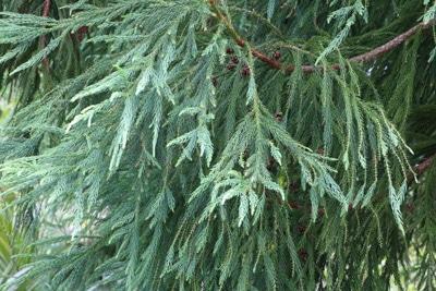 Sicheltanne Cryptomeria japonica