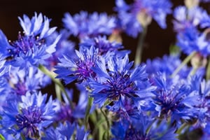 Kornblumen Blüten