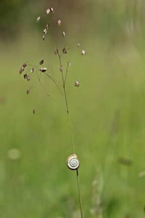 einzelne Zittergras Pflanze