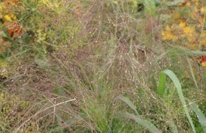 Rutenhirse - Panicum virgatum