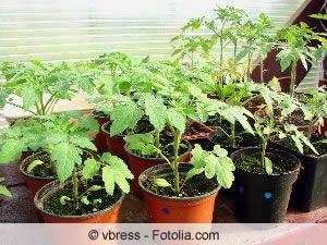 Tomatenpflanzen im Topf