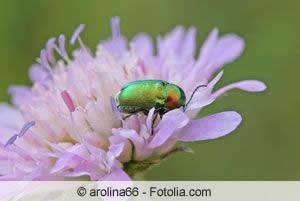Knautia mit Käfer