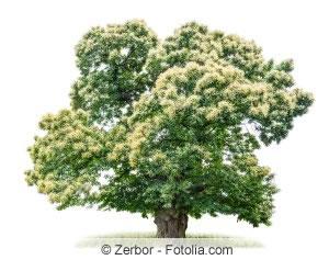 Edelkastanienbaum