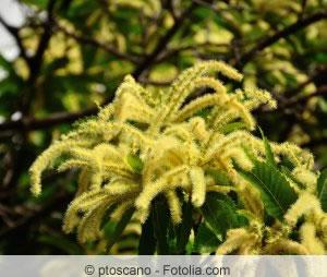 Blüte der Esskastanie