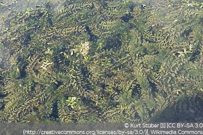 Schmalblättrige Wasserpest Wasserpflanzen