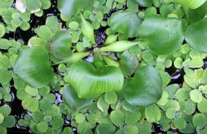 Teichpflanzen Wasserhyazinthe