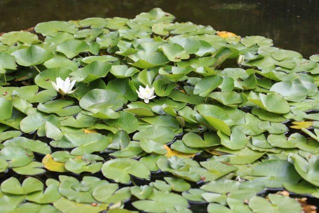 Teichrose Schwimmpflanzen