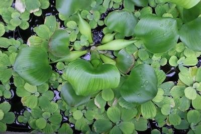Wasserhyazinthe Teichpflanzen