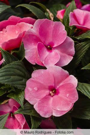 Blüte von Schiefteller