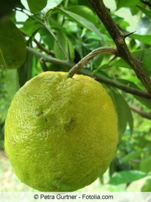 Bergamotte Frucht